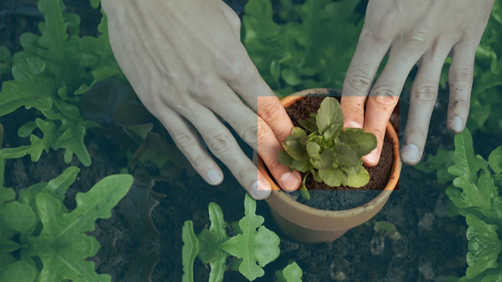 Hands planting a seedling in a pot
